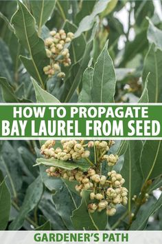 Want to grow bay laurel from seed? You've come to the right place. Gardener's Path will guide you through the process of sourcing seeds, encouraging them to germinate, and transplanting to the garden. It takes some patience and precision, but this guide will help you get the job done. #baylaurel #garden #gardenerspath Organic Gardening, Herb Gardening, Grow Your Own Food, Growing Herbs, Propagation, Patience, Paths, Harvest, Seeds