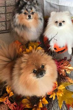 Absolutely precious! Love Poms-had two; they're waiting for me at the Rainbow Bridge. #Pomeranian Cute Baby Animals, Animals And Pets, Funny Animals, Cute Puppies, Cute Dogs, Dogs And Puppies, Doggies, Funny Dogs, Beautiful Dogs