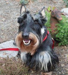 Unusual markings make Wallace a Scottie celeb | Scottish Terrier ...