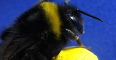 Scientists trained bumblebees to move a ball to the center of a platform to gain a sugary treat.