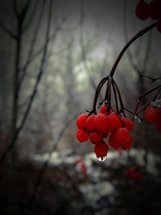Berry's by ~Ler-ac on deviantART Black White Red, Red And Grey, Shades Of Grey, Color Splash, Color Pop, Berry, Red Pictures, Simply Red, Red Berries