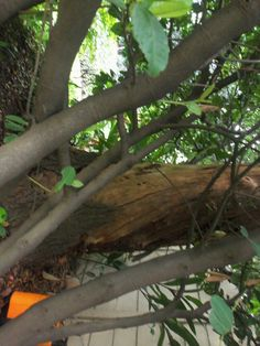 Bee removal in Johannesburg, removed bees in a tree in Highlands North  Halford Avenue   R650 FLAT RATE