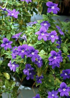 Browallia -- blue-violet flower for shade. Not enough used because it's not in bloom when for sale. Use with chartreuse: coleus Big Blonde or Wasabi, or sweet potato or licorice vines. Or with orange impatiens.
