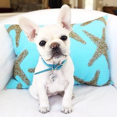 I guess I can handle a french bulldog if they are this cute.