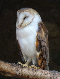 Free Pictures, Free Images, Hedwig, Birds Of Prey, Owl, Barn, Sleep, Friends, Animals