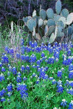 Texas Bluebonnets & Cactus by Karen Roie Forest