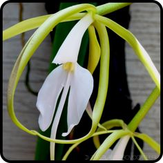 Epidendrum parkinsonianum in flower.  Love mysterious! #epiphyticorchid #orchid #whiteflower #exoticbeauty