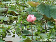 Lotus lake, Burma