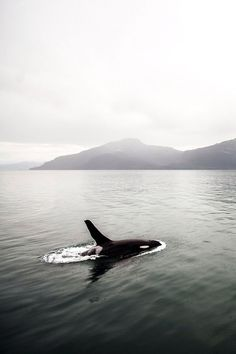 My three favorite things: stormy days on the ocean and orcas! Beautiful Creatures, Animals Beautiful, Cute Animals, Orcas, Killer Whales, Ocean Life, Marine Life, Sea Creatures, Under The Sea