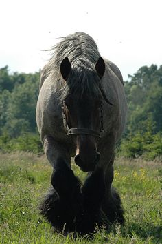 """""""Daddy Isidore"""" by Ton van der Weerden. He has such a sweet face and beautiful feathers. He's a Brabant. Big Horses, Work Horses, Horse Love, Most Beautiful Horses, All The Pretty Horses, Beautiful Creatures, Animals Beautiful, Arte Equina, Majestic Horse"""