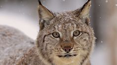 lynx-face-widescreen-hd-wallpaper-16473-16992-hd-wallpapers.jpg (3840×2160)