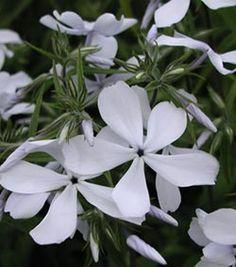 Phlox divaricata 'White Perfume' - Wald-Phlox
