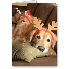 two christmas holiday golden retrievers