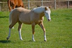 Schmersal Reining Horses :: Pale Face Dunnit's  foal