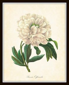 Antique French Peony Paeonia  Officinalis Redoute Botanical Art Print 8 x 10 Digital Collage Home Decor Home and Garden Wall Decor