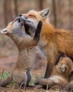 Fox with young Nature Animals, Animals And Pets, Beautiful Creatures, Animals Beautiful, Fennec, Fantastic Mr Fox, Wild Creatures, Cute Fox, Fox Art