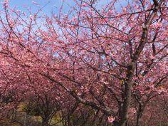 小松ヶ池公園 前で咲く河津桜