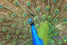 https://flic.kr/p/FfhWYf | Birds in Macedonia and the rest of Greece |   #πουλιά #πτηνά #bird #birds #life #wild #wetland #Greece #Flight #flying #Beautiful #Nature #world #υγροβιότοπος #πετάω #φύση #animals #Greece #Ελλάδα #Macedonia #Photography #George  #eyes #@ #papaki #BirdsinGreece  #visitgreece #greekphotographers #europeanphotography #naturephotography #sea  #θάλασσα #water #feather #φτερό #παγώνι  #παγόνι #ουρά #βεντάλια  #Phasianidae #peacock #peahen #female #θυληκό