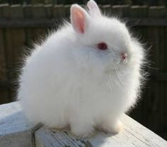 """Should I get this for Shelby and Raylan for easter.....  It would be a pet.....  Would not show it.......  Fancy Furs is offering for sale a show quality, pedigreed Jersey Wooly kit. Asking $125. """"Fancy Furs Jagged Ice"""" aka Jag, is  a sweet, laidback bunny with a wonderful temperament. He would make a great show rabbit and/or companion. His pedigree  and breeding are top notch, and he comes from some of the best bloodlines. I am looking for a special home for this  gorgeous boy."""