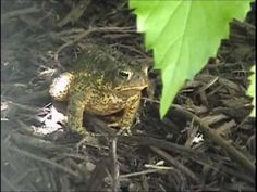 Frogs, Toads, Birds and Crickets...