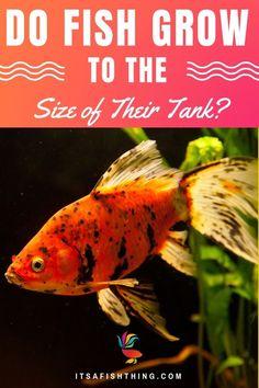 549 Best Goldfish Images Goldfish Tank Goldfish Care