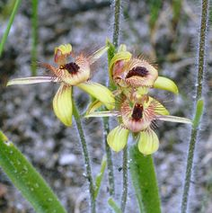The Dancing Spider Orchid or Caladenia discoidea is medium height and not uncommon. Photo taken in Wireless Hill Park, Perth, in 2007