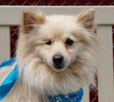 MAXX – A1076193 MALE, CREAM, POMERANIAN, 2 yrs OWNER SUR – EVALUATE, NO HOLD Reason OWNER SICK Intake condition UNSPECIFIE Intake Date 06/03/2016, From NY 11040, DueOut Date