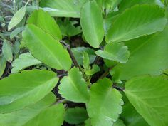 Leaf of Life/ Tree of life   Puerto Rican/Jamaican natural herb    I'm using it for my daughters ear infection.    http://www.jaherbs.com/index.php?option=com_content=article=67:leaf