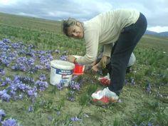 land workers in safran by stefania, krokos kozanis