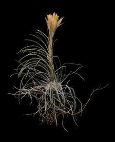 Tillandsia caballosensis-Rare and Unusual Species, Plant Oddities