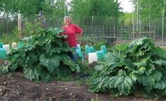 Plant once - harvest for years by Jackie Clay-Atkinson   great article on those few items that can be planted once that will produce a lifetime of food after they're started.