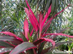 O Cordyline terminalis e um arbusto semi-lenhoso, pertence a família Liliaceae, nativo da Índia, Malásia e Polinésia, perene, caule ereto, de 1 a 3 metros..