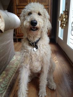 Two year old Harry Howard the Labradoodle in Houston!