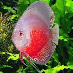 Discus Red White 1