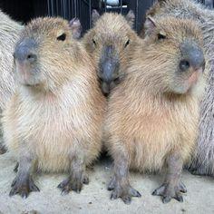 kapibara...