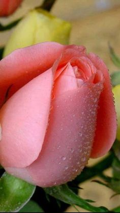 Beautiful Rose Flowers, Wonderful Flowers, Exotic Flowers, Rose Pictures, Hybrid Tea Roses, Rose Cottage, Purple Roses, Rose Buds, Planting Flowers