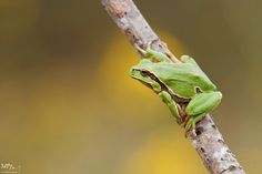 Photograph Iberian tree frog by Matthieu Berroneau on 500px