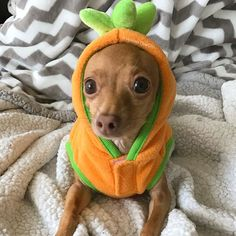 What do you mean I don't look scary?😕 Happy #NationalPumpkinDay for the tiniest carrot-looking pumpkin.🎃 #WalterTheChi #pumpkin #HalloweenWalter #howloween #dog #rescuedog #smile #thegreatpumpkin