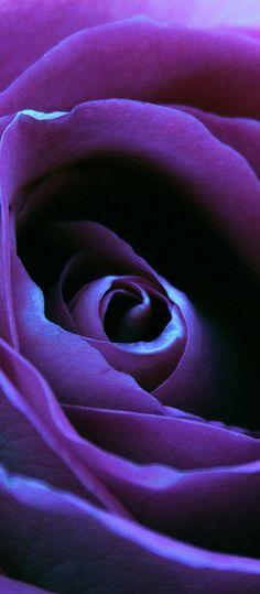 Purple Rose - Beautiful Flowers http://hmkh.com #flowers