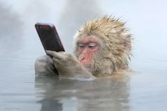 young Japanese macaque in a natural hot spring that she held her phone ever nearer to her subject. Suddenly, the monkey snatched the device from her hand and retreated to the middle of the water to examine its prize. Marsel, who was leading a