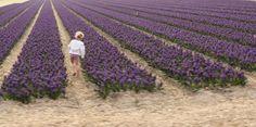 Tulips in April. NL