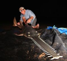 Jeremy Wade -  A freshwater sawfish, which can grow to 20 feet and over 400 pounds. - animal.discovery.com