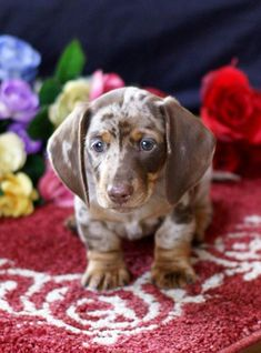 """Find out additional info on """"miniature dachshunds"""". Browse through our website. Dachshund Breeders, Chiweenie Puppies, Dachshund Puppies For Sale, Dapple Dachshund, Long Haired Dachshund, Weenie Dogs, Dachshund Love, Doggies, Funny Dachshund"""