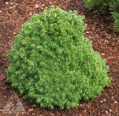 Kigi Nursery - Picea abies ' Tompa ' Dwarf Norway Spruce, $20.00 (http://www.kiginursery.com/dwarf-miniatures/picea-abies-tompa-dwarf-norway-spruce/)