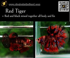 All of Betta Fish – A Guide on Patterns, Color in the world - Nice Betta Thailand.CO.,LTD Orange Bodies, Brown Bodies, Betta Fish Types, Fish For Sale, Siamese Fighting Fish, Fish Farming, Beautiful Fish, Colorful Fish, Betta Fish