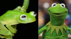 A new species of frog found in Costa Rica bears a strong resemblance to the iconic Muppets character Kermit. Muppet Show, Hotmail Sign In, Frog Species, Glass Frog, Kermit The Frog, Funny Puns, Funny Stuff, Derp, The Funny