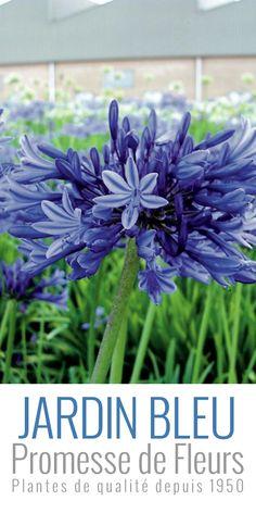L'Agapanthe (ou Agapanthus) Midnight Blue fleurit, de juillet à août. Elle offre de belles ombelles globulaires de 15cm de diamètre. Les fleurs, en forme de trompettes sont presque noires en bouton, bleu nuit en s'épanouissant.