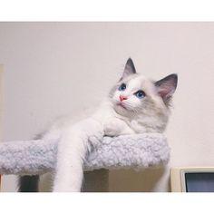 wow,you are so beautifull #ragdoll#cat#pet#instagram#instacat#instaphoto#photo#노르웨이숲#고양이#냥이#펫#猫#ねこ#펫스타그램#냥스타그램#ペット#愛猫#写真#宠物#萌宠#萌#可爱#可愛い#ラグドール#cute#neco