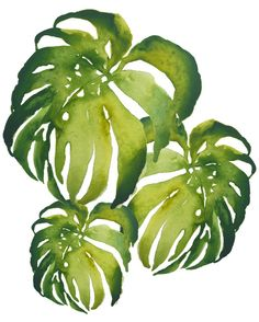 Tres Deliciosas at ArtfullyWalls, Big bold tropical watercolor impressions of Monstera Deliciosa