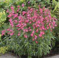 Penstemon. Pictured is award winning 'Carillo Red' - Attractive to butterflies and hummingbirds, this plant blooms from June through August with a much higher flower count than most penstemons. Penstemons don't like wet feet and won't return after a soggy winter in clay soil, so if you have drainage issues try this flower in a raised bed. Even planting a few inches above grade can make the difference for the penstemon.